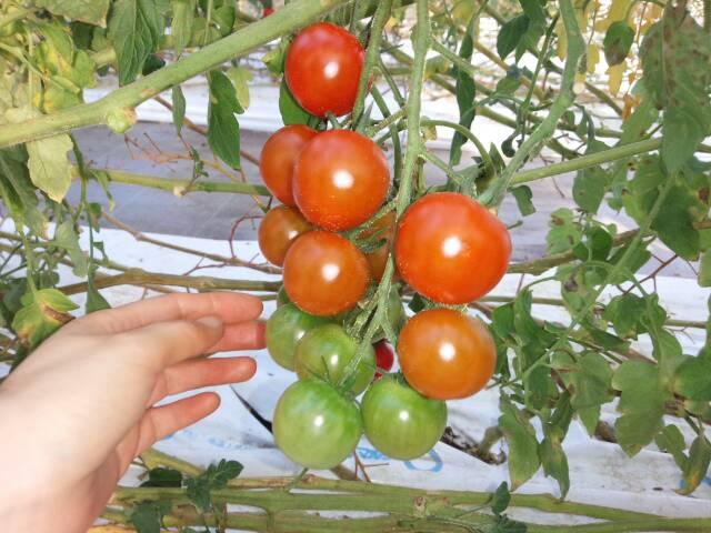 めんこいトマト1