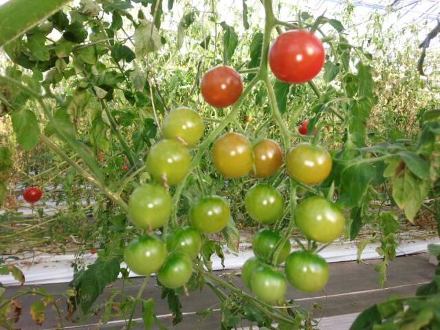 めんこいトマト2