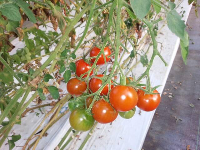 めんこいトマト3