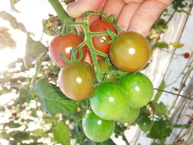 めんこいトマト4