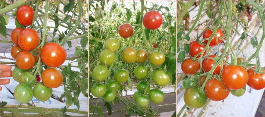 めんこいトマト栽培方法